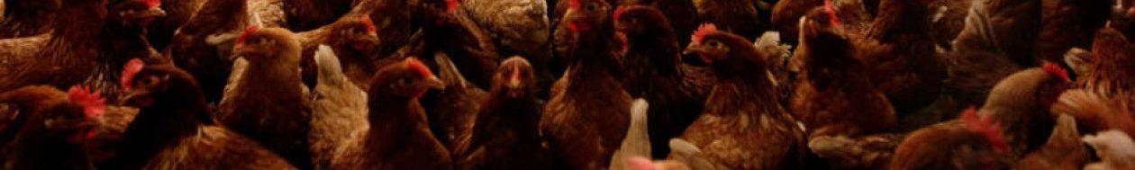 Red Belgische kippen met Red een legkip België.